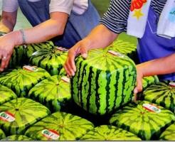 Squarewatermelons_thumb.jpg